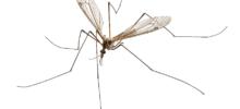 Giant Mosquito?