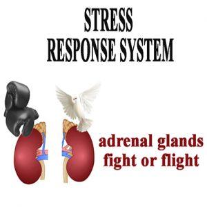 Adrenal Stress Response System